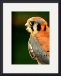 American Kestrel by Jacque Alameddine