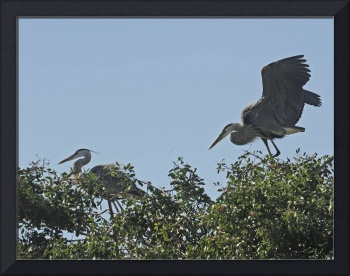 Two Herons at Rookery