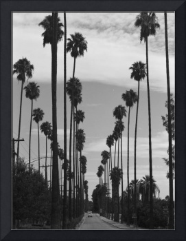 Vintage Black & White California Palm Trees Photo