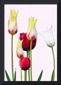 Tulips Mixed #1