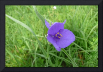 Purple Spiderwort, Dee Oberle