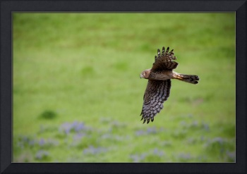 Northern Harrier Fly by