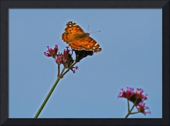 Butterfly   American Lady with Blue Sky
