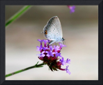 Butterfly Eastern Tailed Blue Portrait