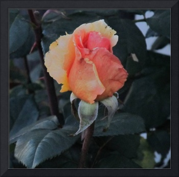 Golden Rose IMG_1744