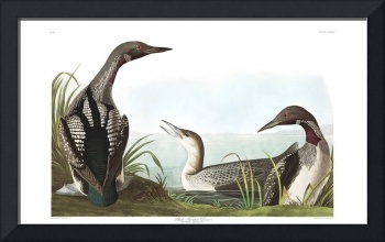 Black Throated Diver, Plate 346