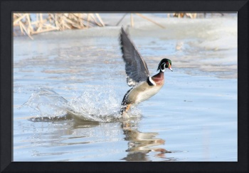 Wood Duck- taking off & looking at me