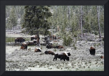 Spring Snow in Yellowstone