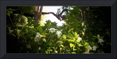 Gardenias in Bloom