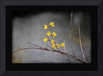 Spring Forsythia with Black Border