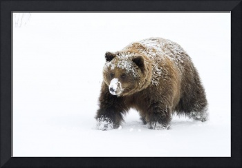 Small female grizzly, Alaska Wildlife Conservation