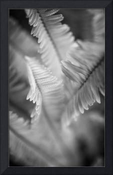 Spring Fern Macro in Black and White