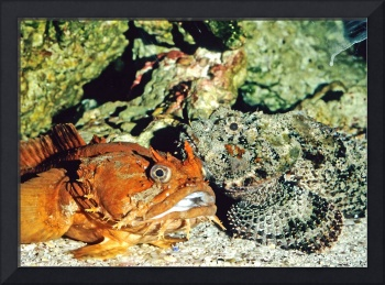 Toadfish and Scorpionfish Tropical Fish