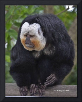 White Faced Saki