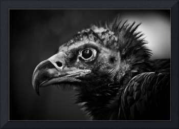 A Vulture striking a highly dignified pose.