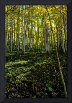 Aspen Green and Golden Splendor