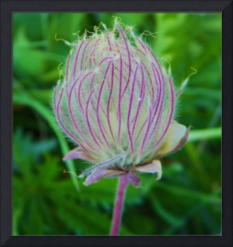 Botanical - Prairie Smoke - Outdoors Floral