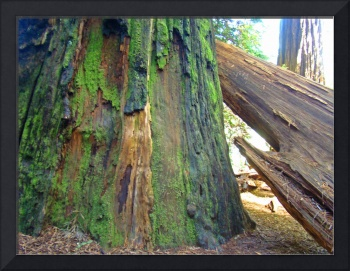 Redwood Trees fine art prints Big Redwoods