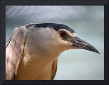 Night Heron: