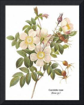 Candolle Rose (Rosa sp.) Botanical Art