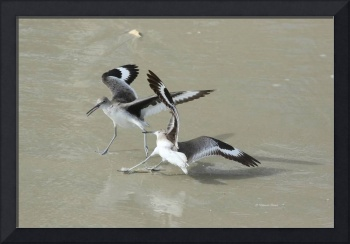 Willets at the Beach