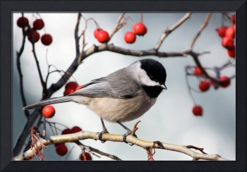 Carolina Chickadee - Perched on Branch