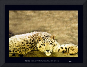 Adult Male Snow Leopard