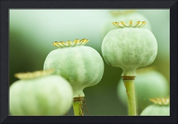 Unopended Poppies