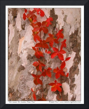 Red Leaves On London Plane Tree