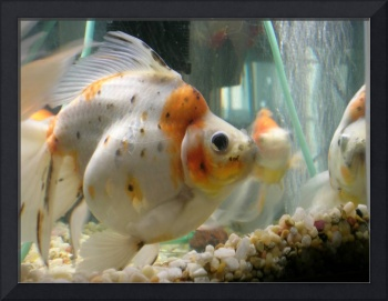 Fat Cute Goldfish