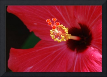 Hibiscus at Noon