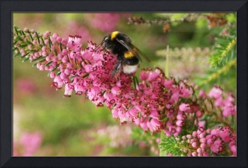 WHITE TAILED BEE ON A PINK HEATHER