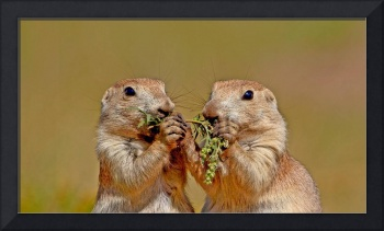 Black Tailed Prairie Dogs in South Dakota