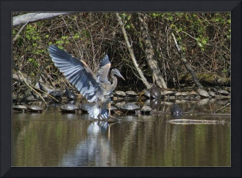 Great Blue Heron and approximately 25 turtles