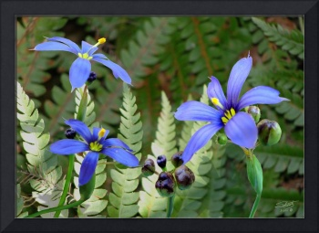 Blue-Eyed Grass and Fern