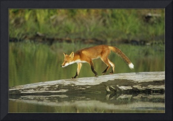 Red Fox Walks On Log In Pond Sc Ak Captive Summer