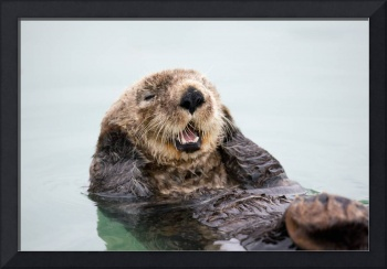An adult Sea Otter floats in the calm waters of th