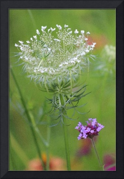 Queen Annes Lace Drybrush