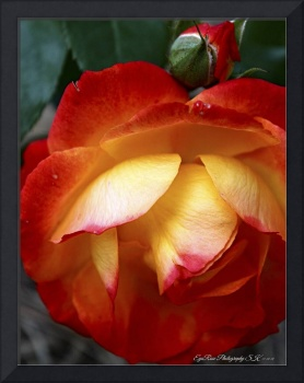 Fully Framed Red Yellow Rosebud Bloom