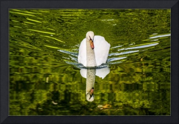 Swan Lake Nature Photo 892