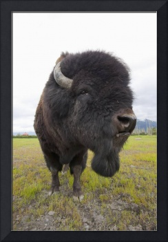 Bull Wood Bison, Alaska Wildlife Conservation Cent