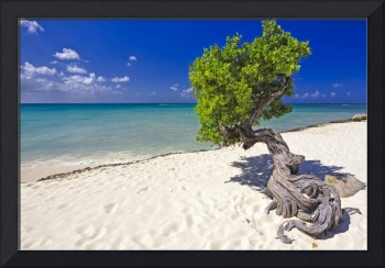 Lone Divi Tree on the Beach