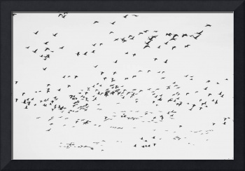 Sky filled with Geese in BW
