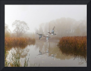 Cinnamon Teal Ducks in the Mist