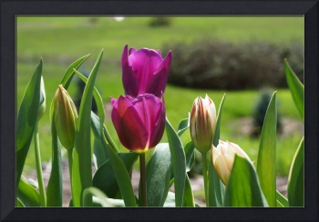 Tulips Art Purple Tulip Flowers Spring