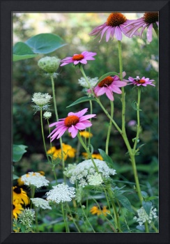 Purple Coneflowers in Garden