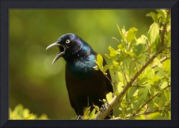 Grackle's Song