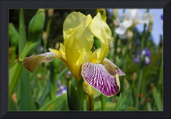 Irises Yellow art prints Purple Iris Flowers