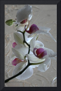 ORCHID- Reflection in Mirror