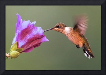 Ruby-throated Hummingbird on Purple Hibiscus
